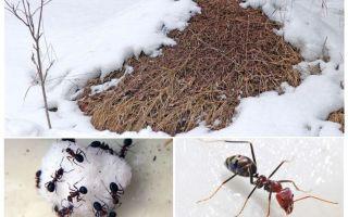 Que font les fourmis en hiver