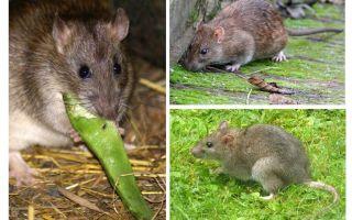A quoi ressemblent les rats