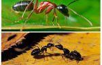 Combien pèse une fourmi