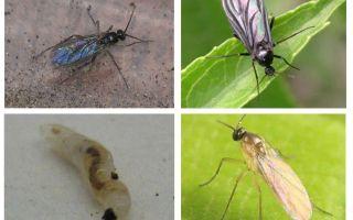 Comment se débarrasser des mouches noires dans les plantes d'intérieur et les pots de fleurs