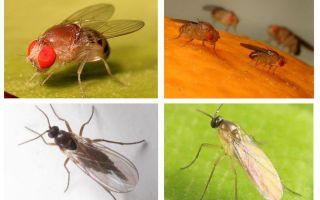 Comment se débarrasser des mouches noires dans la cuisine