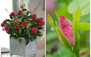 Pucerons sur les roses - comment gérer et comment se débarrasser