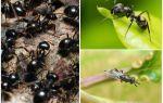 Types de fourmis en Russie et dans le monde