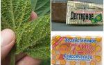Goudron et savon de ménage de pucerons sur les plantes