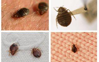Si les insectes vivent dans les oreillers et les couvertures