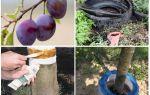 Comment traiter les fourmis sur la prune