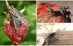 Description et photo mouches domestiques