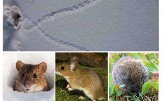 Des traces de souris dans la neige