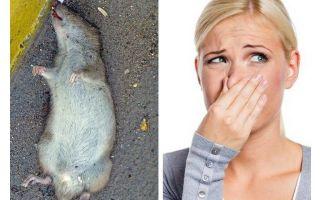 Comment se débarrasser de l'odeur d'un rat mort sous le plancher