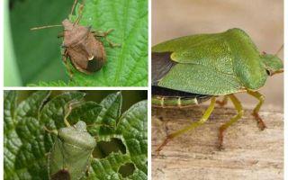 Bugs puants