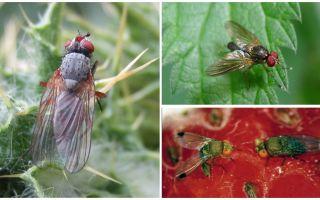 Comment faire face à une mouche pourpre