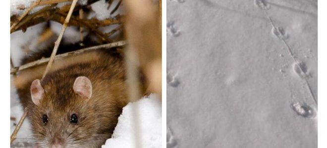 A quoi ressemblent les traces de rats dans la neige