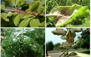 Comment se débarrasser des pucerons dans les arbres