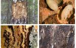 Comment traiter les scolytes dans une maison en bois