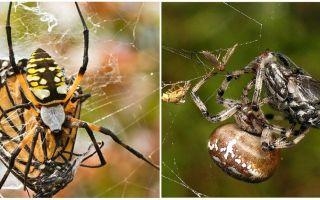 Araignées de tisserand