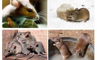 Faits intéressants sur les souris
