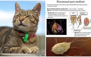 Symptômes et traitement de Giardia chez le chat