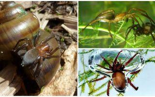 Araignée d'eau (araignée d'argent)