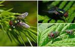 Description et photo de la mouche verte