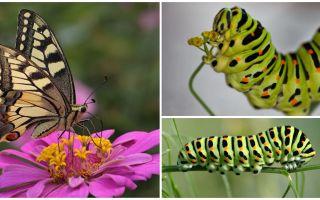 Description et photo de la chenille du papillon Machaon