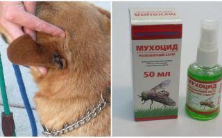Comment et quoi traiter les oreilles d'un chien contre les mouches