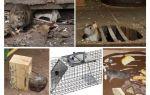 Comment enlever les rats des remèdes populaires du sous-sol