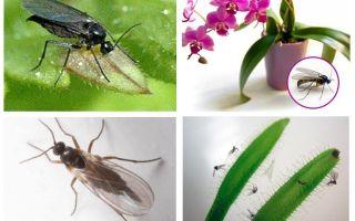 Comment se débarrasser des moustiques fongiques (sciaridés)