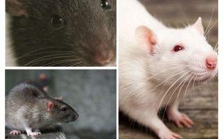 Vision de rat