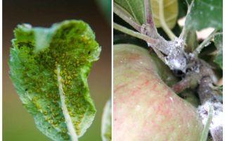 Comment se débarrasser des pucerons sur les pommiers