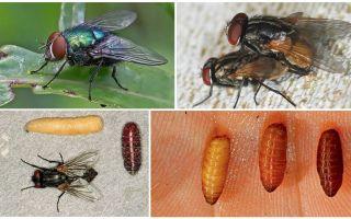 Comment apparaissent les mouches