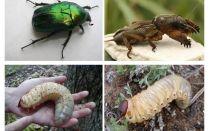 Quelle est la différence entre les larves de l'ours et le coléoptère