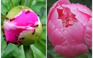 Comment traiter les pivoines de fourmis, remèdes populaires