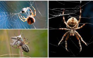 Comme l'araignée tisse une toile