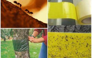Comment traiter les fourmis dans les arbres dans le jardin