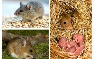 La durée de vie des souris