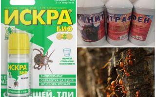 Comment traiter les fourmis et les pucerons sur les pommiers