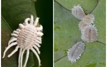 Comment se débarrasser de la cochenille sur les plantes d'intérieur