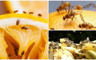 Comment se débarrasser des mouches des fruits dans le magasin de cuisine et des remèdes populaires