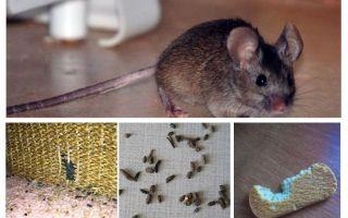 Comment gérer les souris dans l'appartement