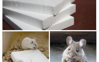 Les souris rongent-elles la mousse