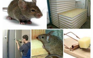 Les souris rongent les panneaux de vautour