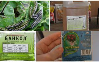 Comment se débarrasser des chenilles sur les remèdes populaires de chou