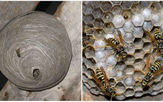 Comment et quelles guêpes font des nids