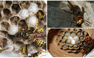 Comment enlever le nid de frelons