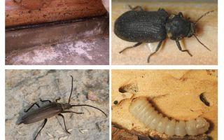 Comment se débarrasser du coléoptère