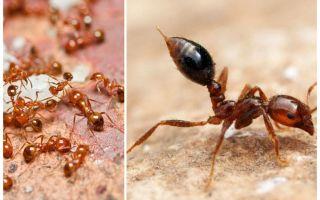 Comment se débarrasser des petites fourmis rouges dans un appartement
