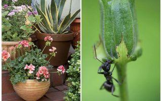 Comment enlever les fourmis d'un pot de fleurs