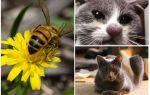 Que faire si un chat est mordu par une abeille