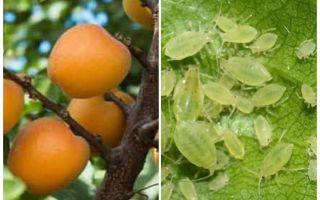 Comment se débarrasser des pucerons sur l'abricot