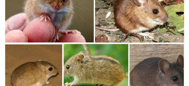 Types et types de souris